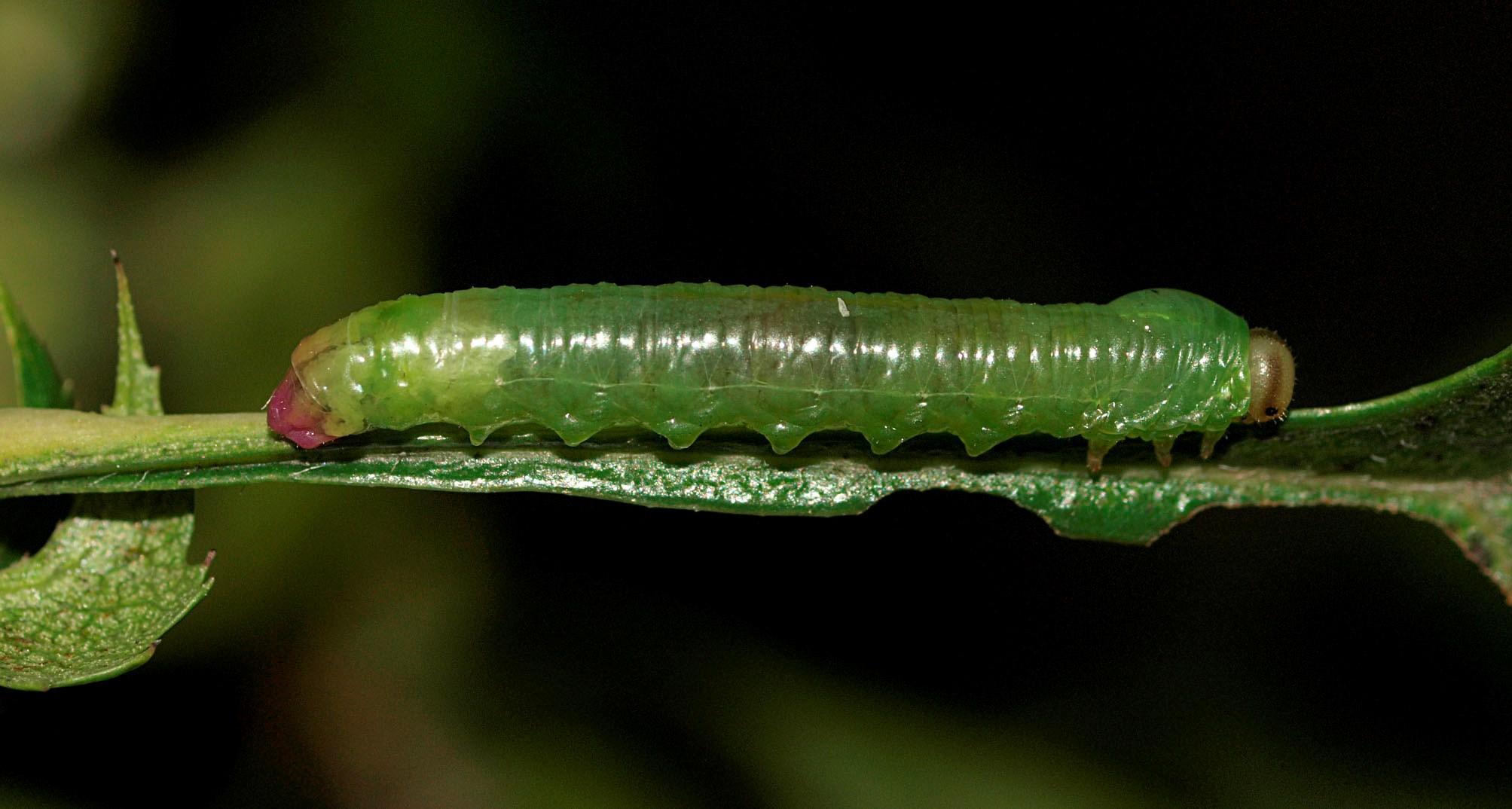 Pristiphora armata
