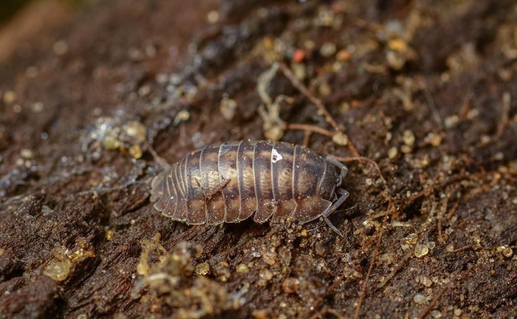 Foto/billede af Fladnæset kuglebænkebider (Armadillidium nasutum)