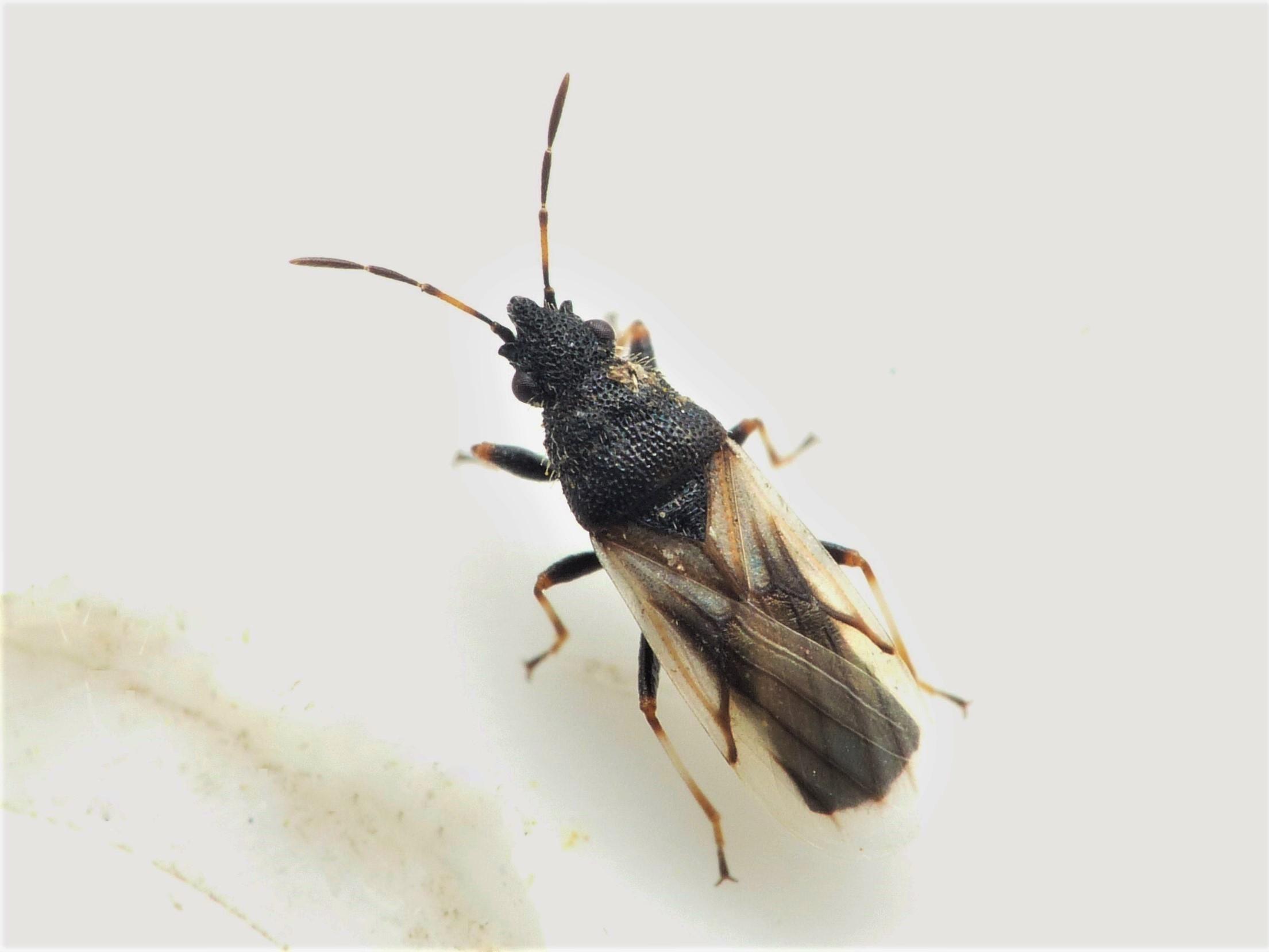 Foto/billede af Metopoplax ditomoides (Metopoplax ditomoides)