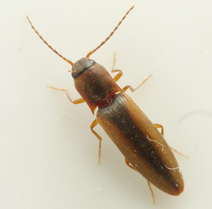 Foto/billede af Smal Kornsmælder (Dalopius marginatus)