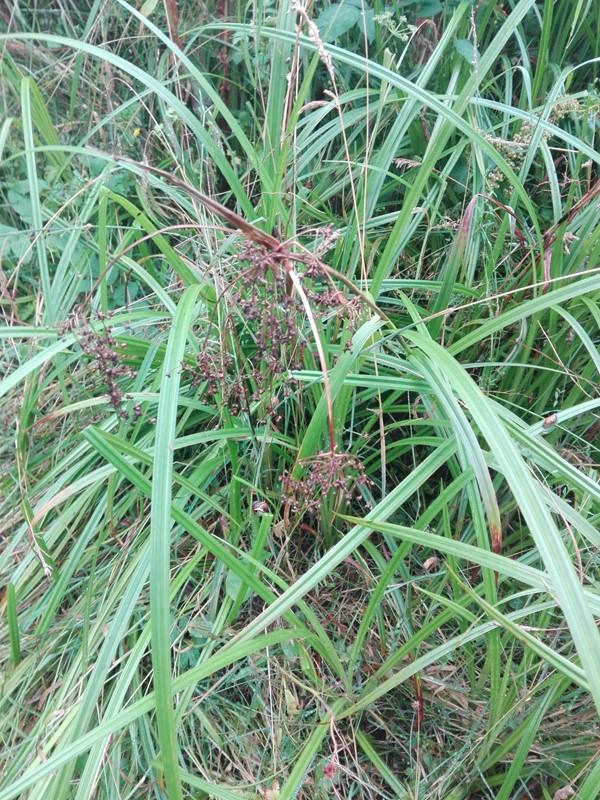 Foto/billede af Skov-Kogleaks (Scirpus sylvaticus)