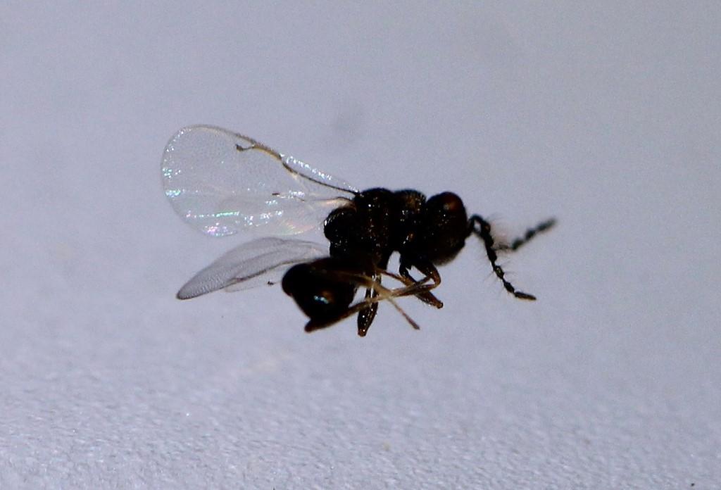 Eurytoma sp.