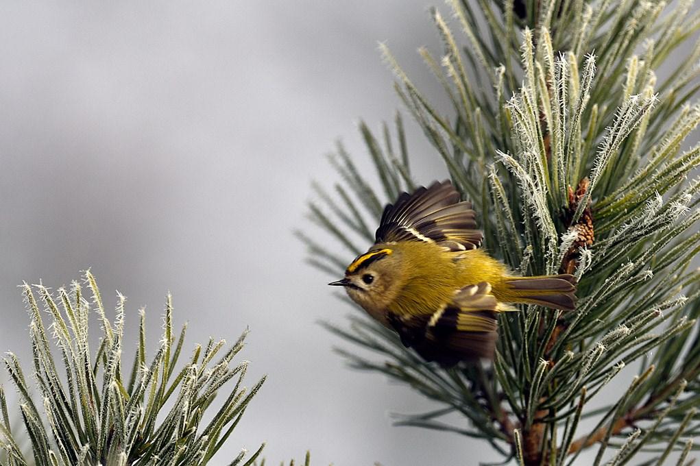 Foto/billede af Fuglekonge (Regulus regulus)