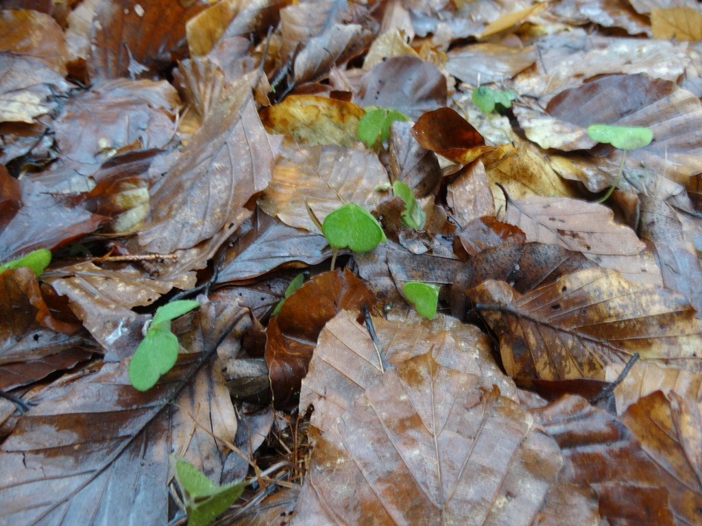 Foto/billede af Skovsyre (Oxalis acetosella)
