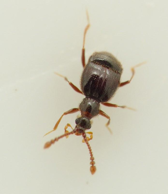 Tychus niger (Tychus niger)
