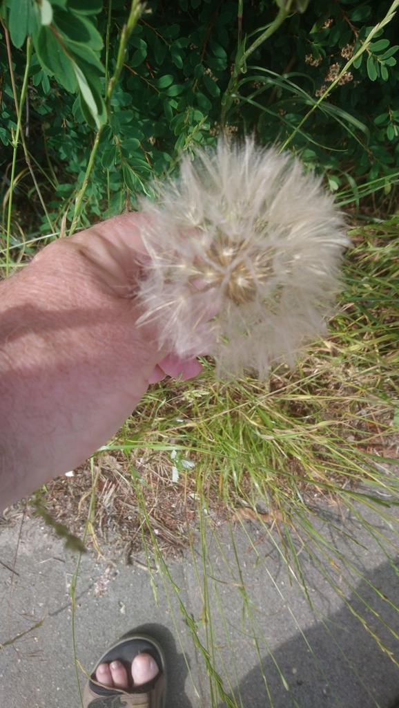 Foto/billede af Storkronet Eng-Gedeskæg (Tragopogon pratensis ssp. pratensis)