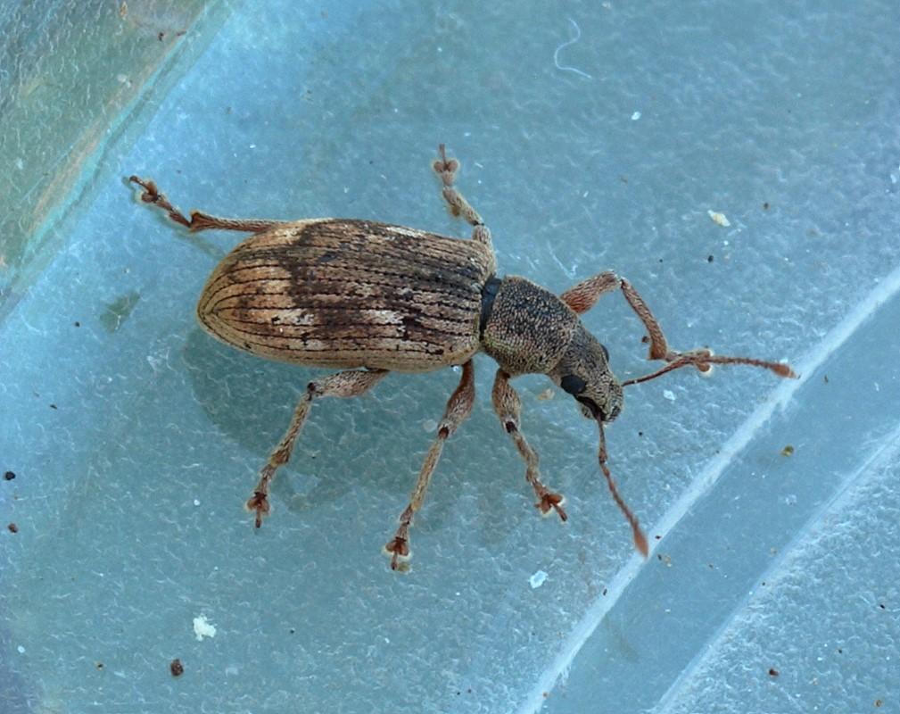 Polydrusus tereticollis (Polydrusus tereticollis)