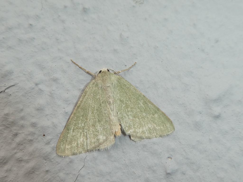 Foto/billede af Grøn Vissemåler (Pseudoterpna pruinata)