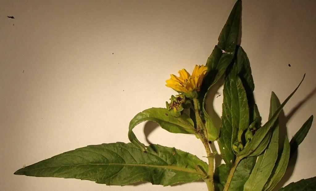 Nigerfrø (Guizotia abyssinica)