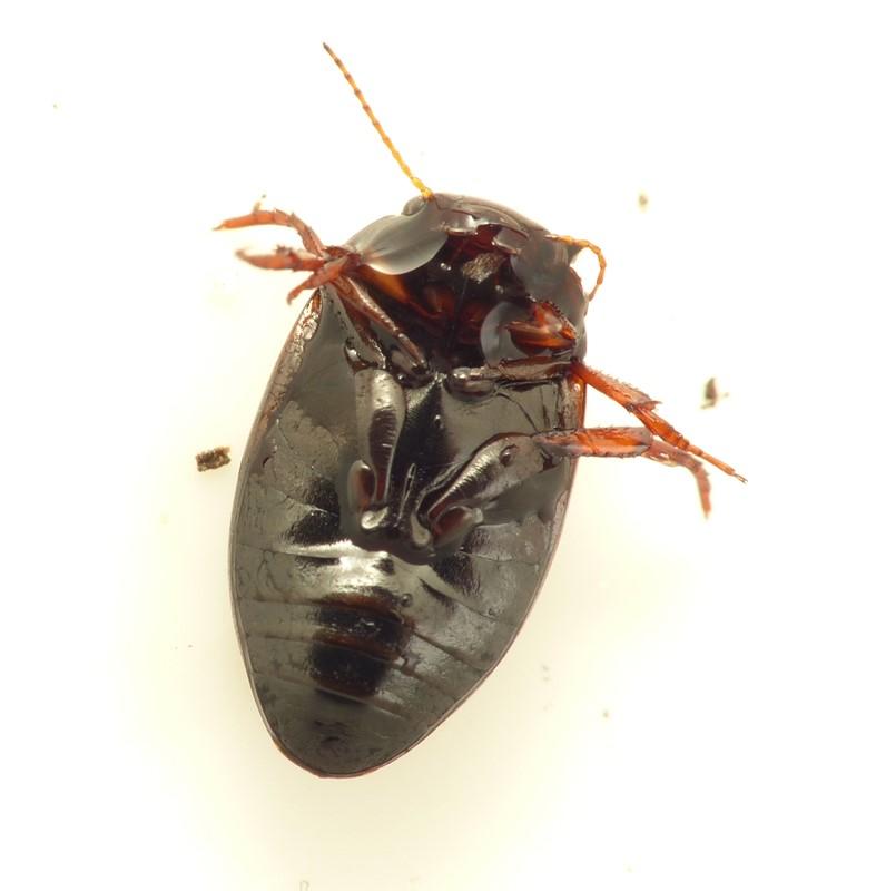 Agabus uliginosus (Agabus uliginosus)