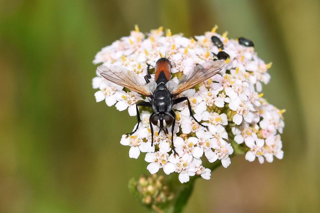 Cylindromyia brassicaria (Cylindromyia brassicaria)