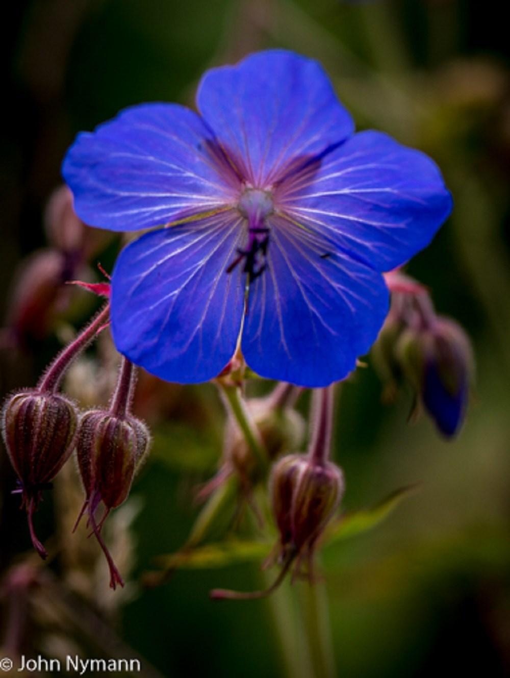 Foto/billede af Eng-Storkenæb (Geranium pratense)