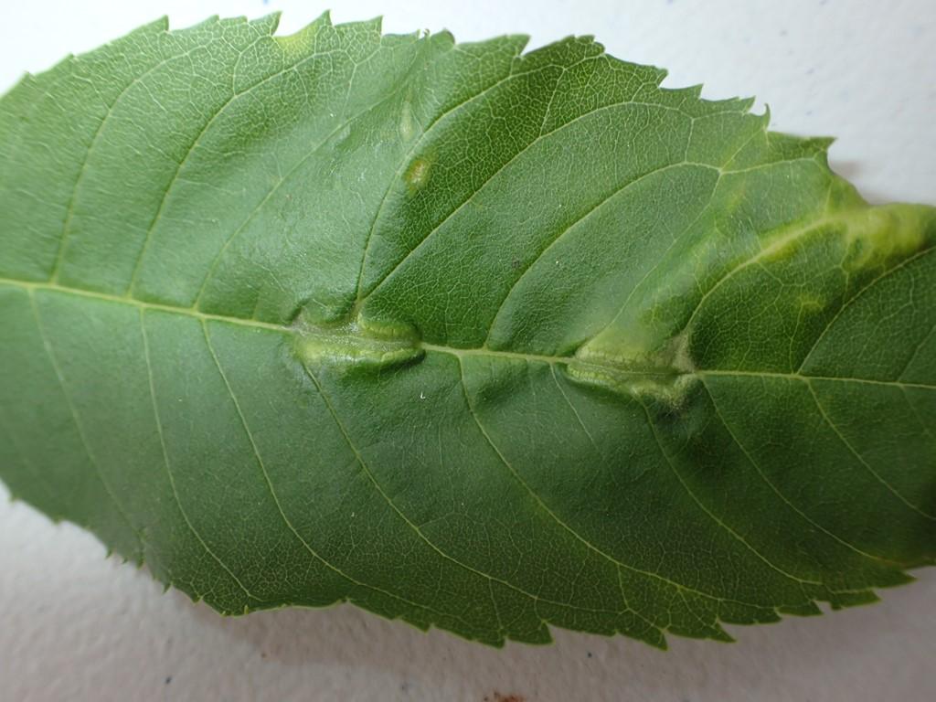 Orangerød Askegalmyg (Dasineura fraxini)