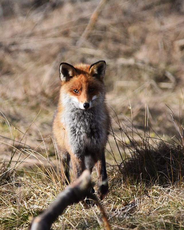 Foto/billede af Ræv (Vulpes vulpes)