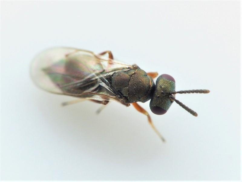 Foto/billede af Spaniopus dissimilis (Spaniopus dissimilis)