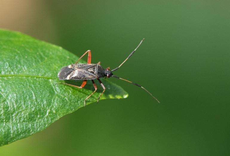 Foto/billede af Closterotomus biclavatus (Closterotomus biclavatus)