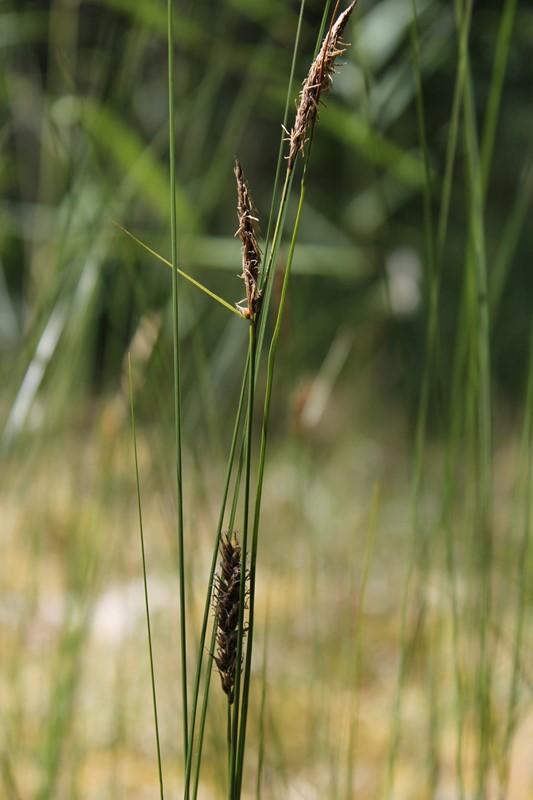 Foto/billede af Tråd-Star (Carex lasiocarpa)