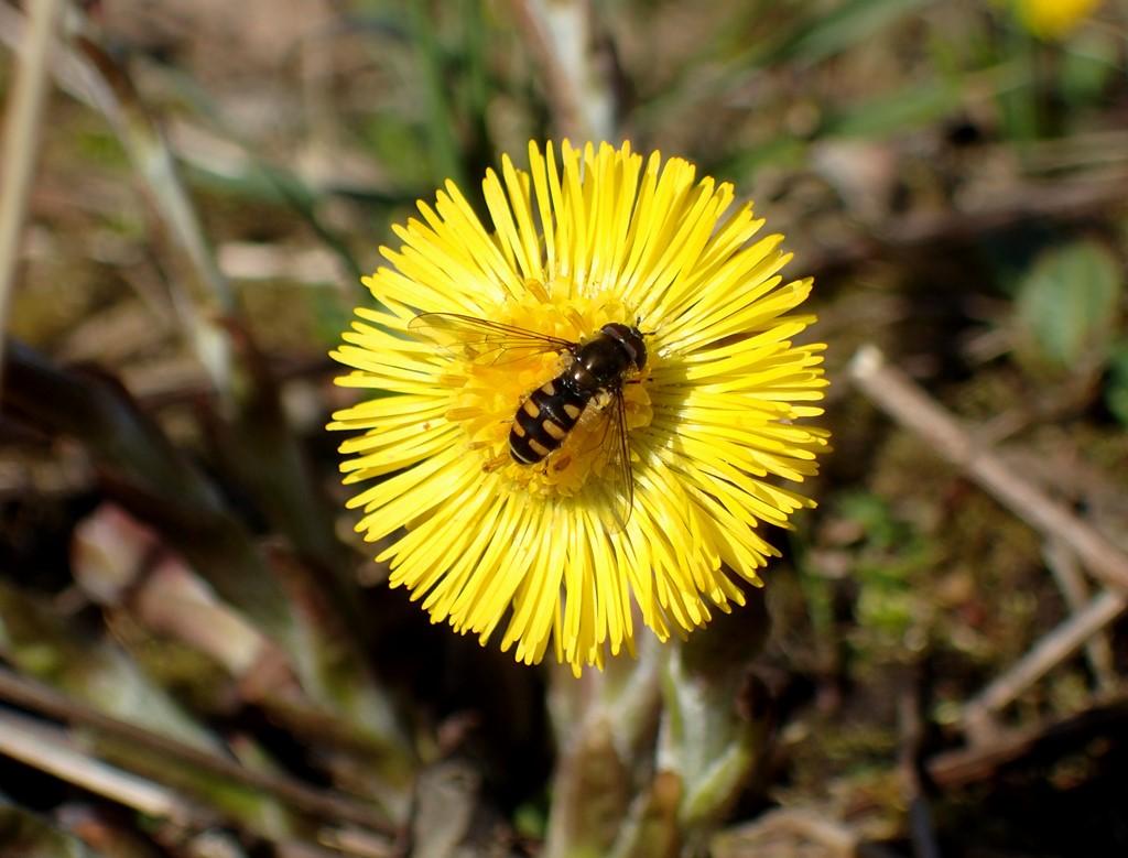Foto/billede af Håret Svirreflue (Melangyna lasiophthalma)