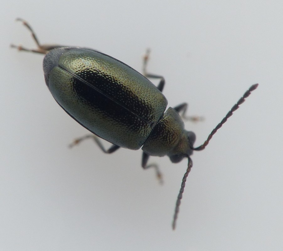 Phyllotreta cruciferae (Phyllotreta cruciferae)