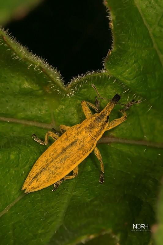 Lixus iridis (Lixus iridis)