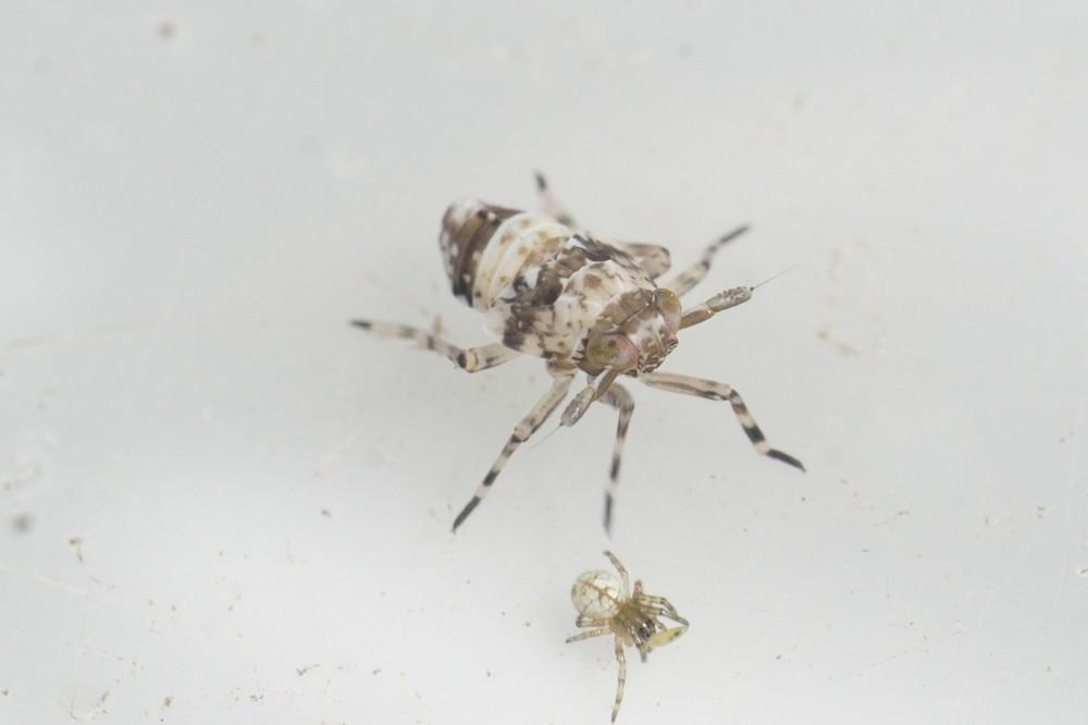 Delphax sp. (Delphax sp.)