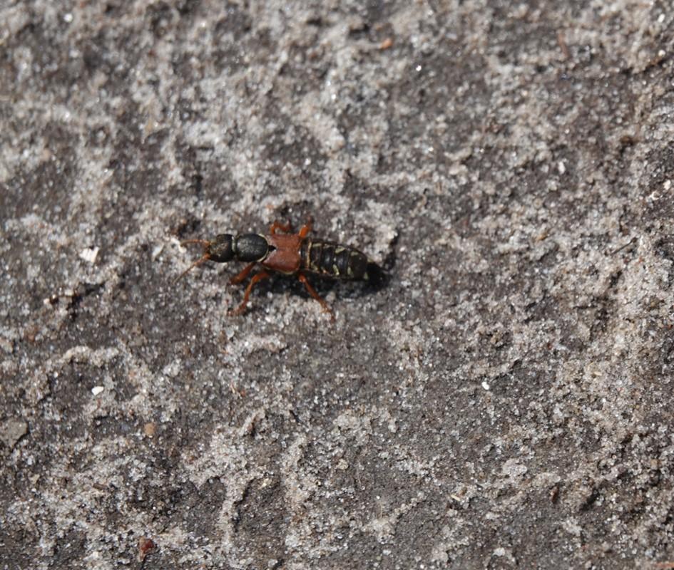 Foto/billede af Kejserrovbille (Staphylinus caesareus)