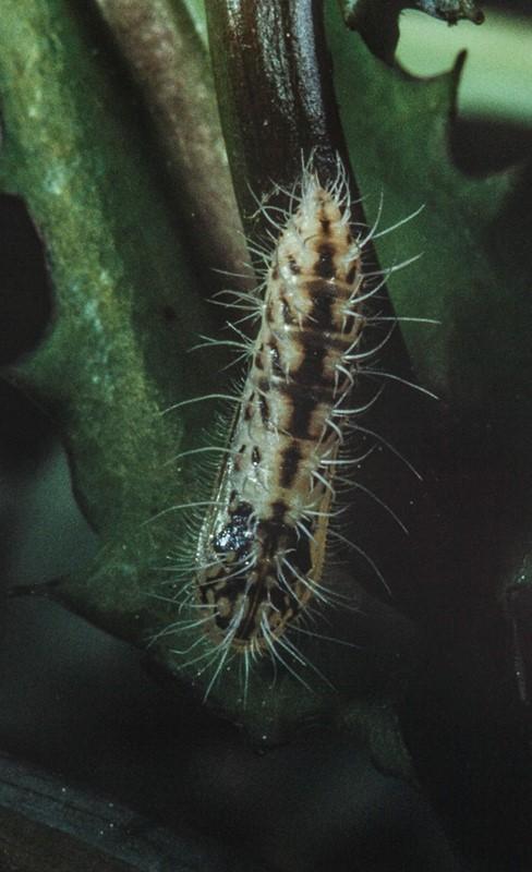 Pselnophorus heterodactyla