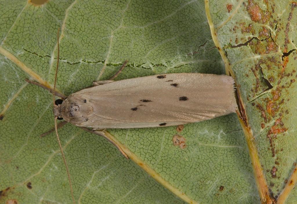Prikket Lavspinder (Pelosia muscerda)