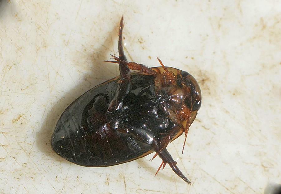 Tværstribet Vandkalv (Hydaticus transversalis)