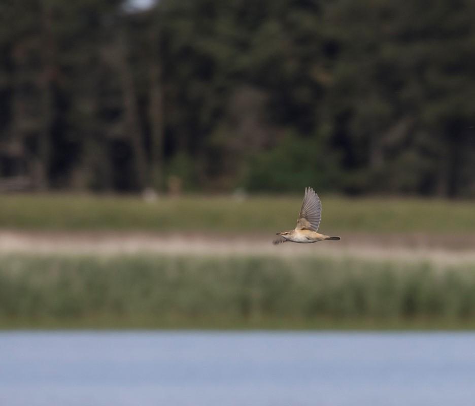 Foto/billede af Drosselrørsanger (Acrocephalus arundinaceus)