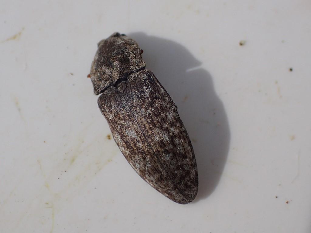 Musegrå Smælder (Agrypnus murinus)