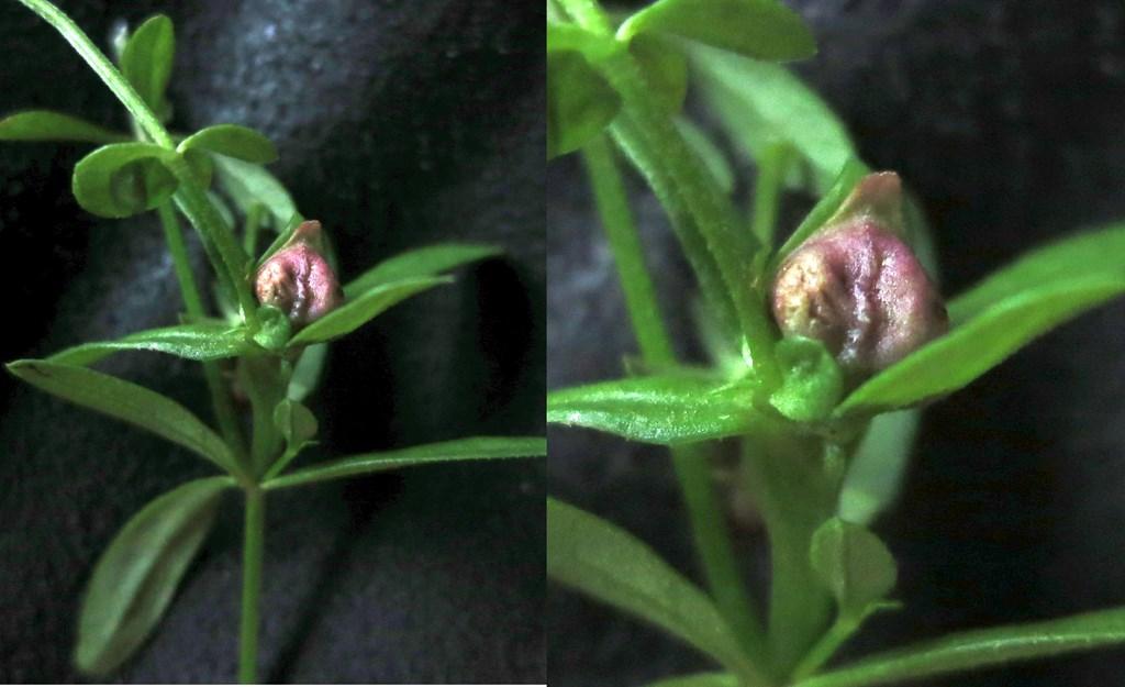 Dasineura hygrophila