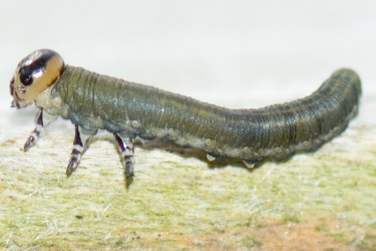 Gilpinia sp. (Gilpinia sp.)