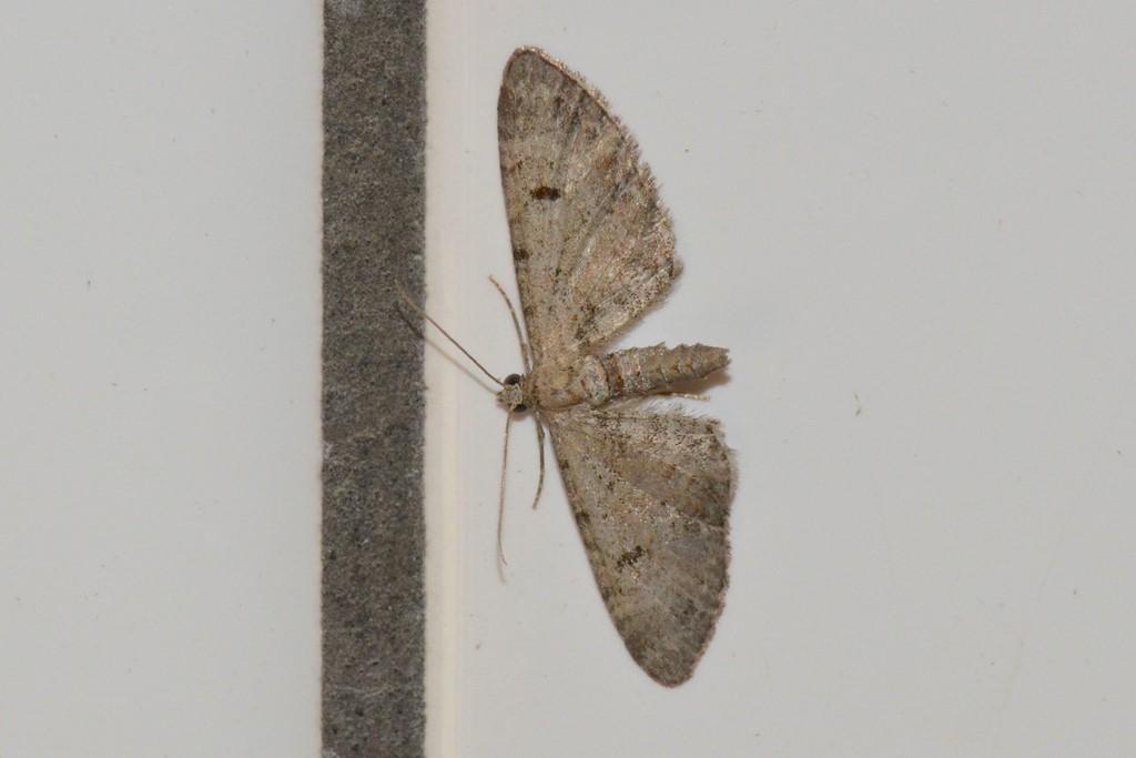 Foto/billede af Pimpinelledværgmåler (Eupithecia pimpinellata)