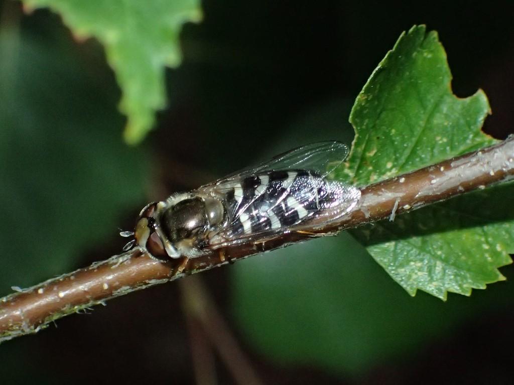 Hvidplettet Agersvirreflue (Scaeva pyrastri)