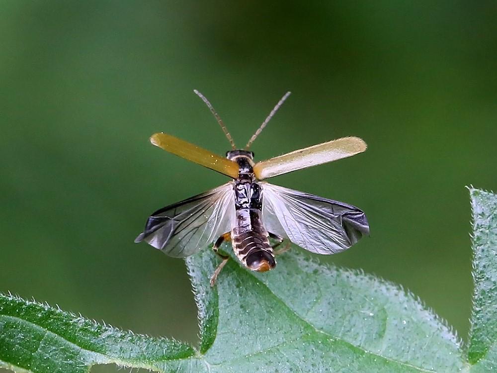 Foto/billede af Cantharis decipiens (Cantharis decipiens)