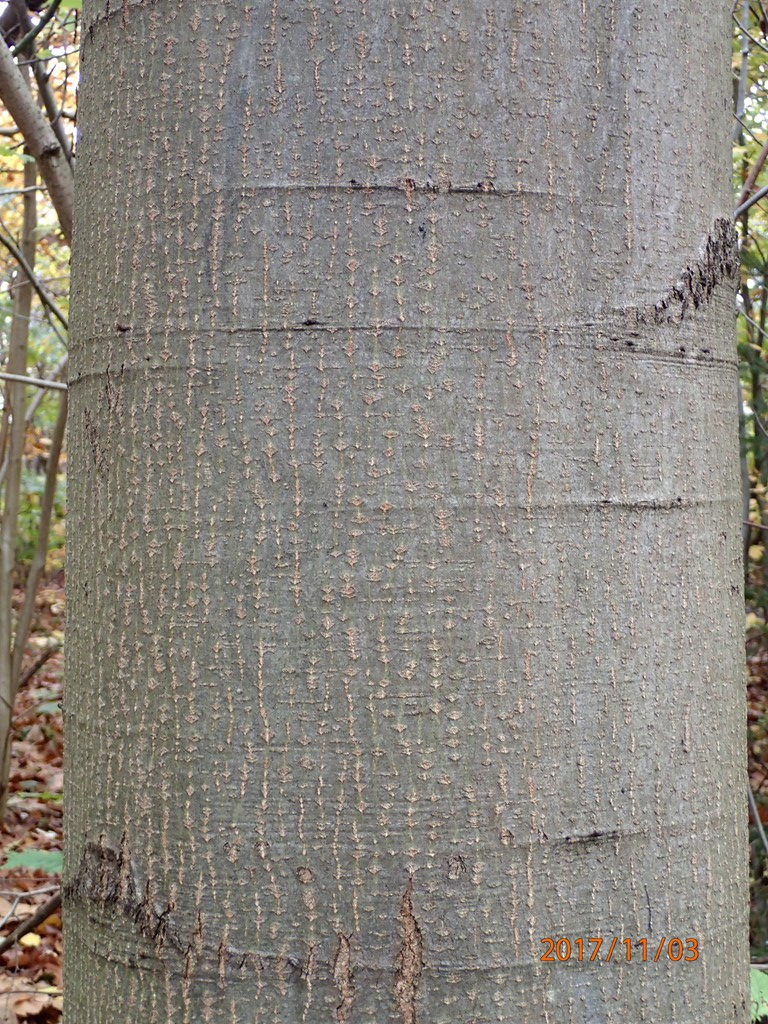 Foto/billede af Rød-eg (Quercus rubra)