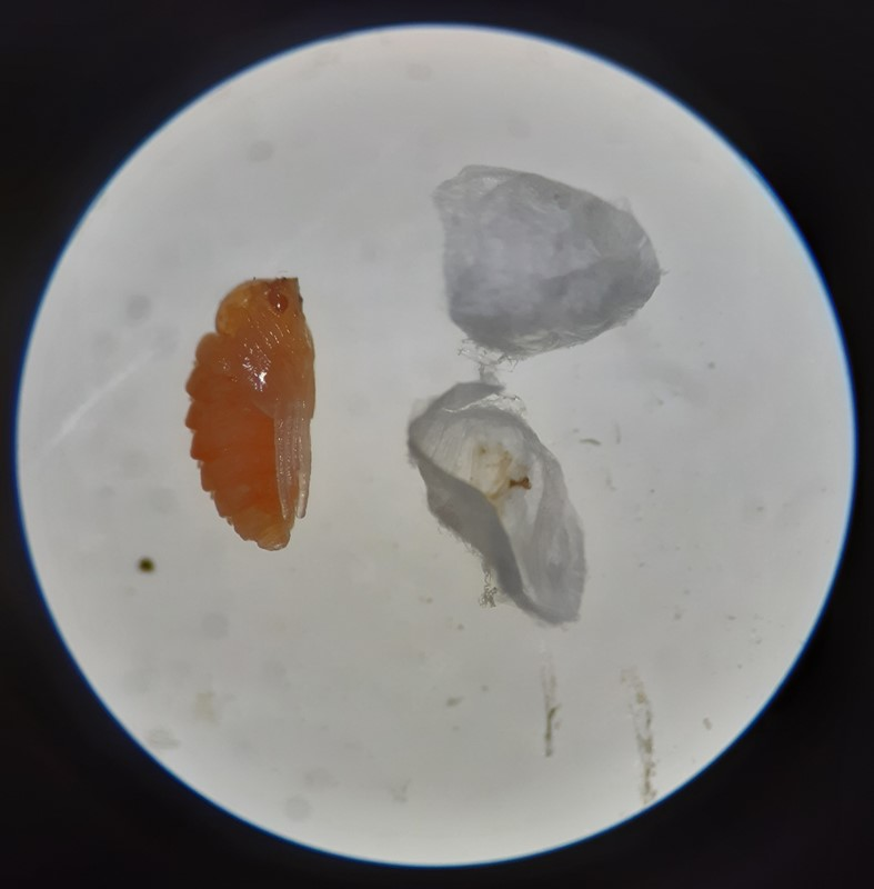 Neomikiella lychnidis