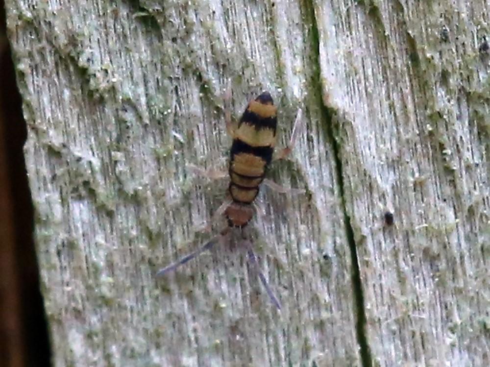 Foto/billede af Bark-Springhale (Entomobrya corticalis)