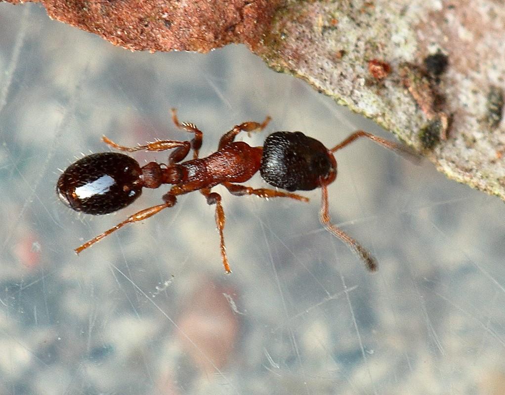 Foto/billede af Barkmyre (Leptothorax acervorum)