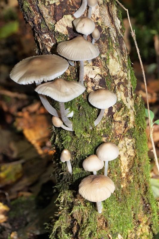 Rødmælket Huesvamp (Mycena sanguinolenta)