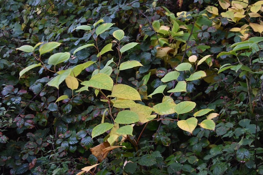 Foto/billede af Japan-Pileurt (Fallopia japonica)