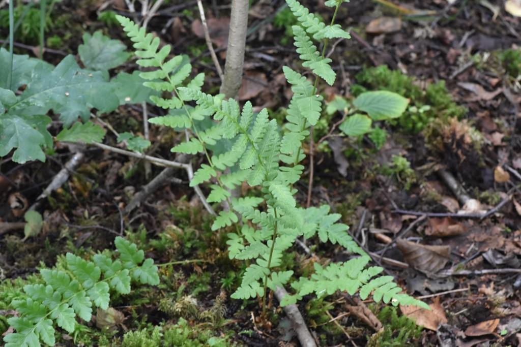 Foto/billede af Butfinnet Mangeløv (Dryopteris cristata)