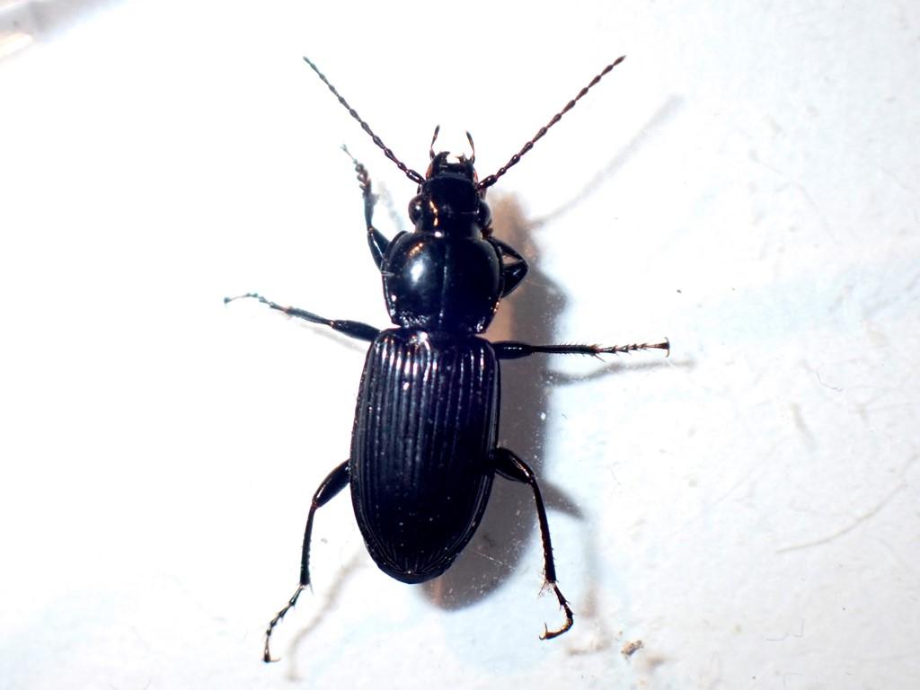 Bille ubest. (Coleoptera indet.)