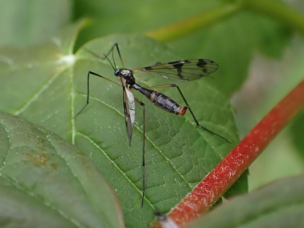 Ptychoptera lacustris