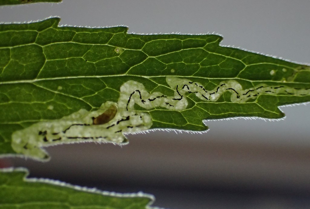 Liriomyza valerianae (Liriomyza valerianae)