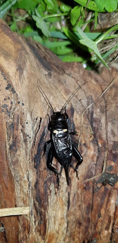 Foto/billede af Sort Markfårekylling (Gryllus bimaculatus)