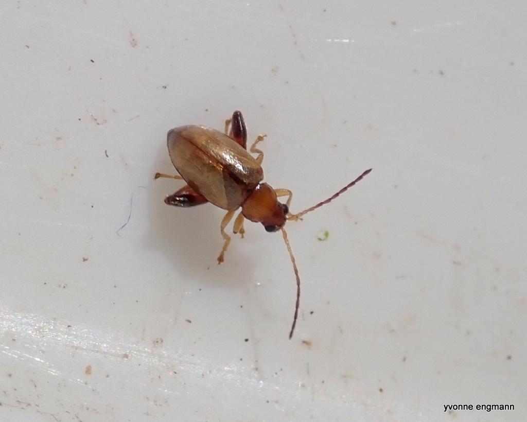 Longitarsus sp. (Longitarsus sp.)