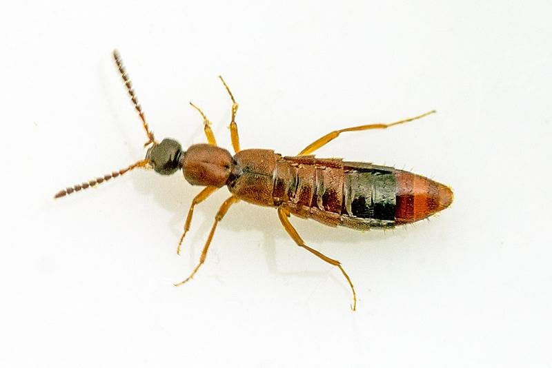 Foto/billede af Myrerøver (Drusilla canaliculata)