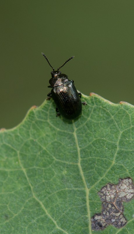 Foto/billede af Blågrøn Ellebladbille (Plagiosterna aenea)